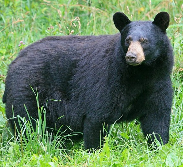 Black bear sightings in Athens area lead to guidance from OPP